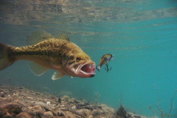 Photo de black-bass sous l'eau