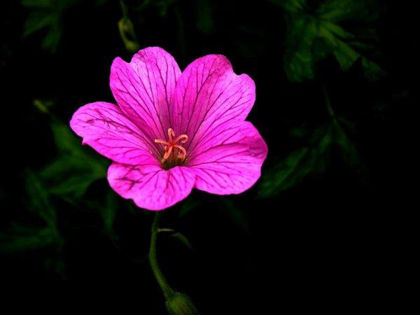 Une fleur à la tombée de la nuit :)        Bonne nuit à tous :)