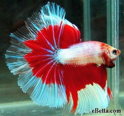 Voilà un rouge et blanc