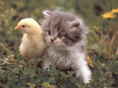 piti chat avec canard