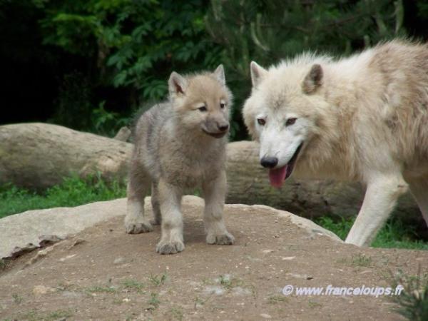 Bebes Loups La Maison Des Loups