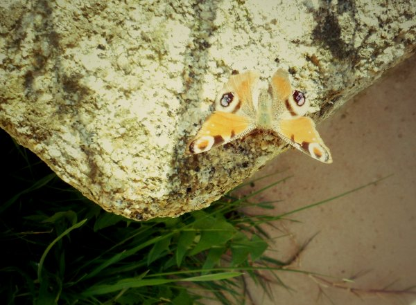 Papillon #2