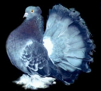 Blog de pigeons paons
