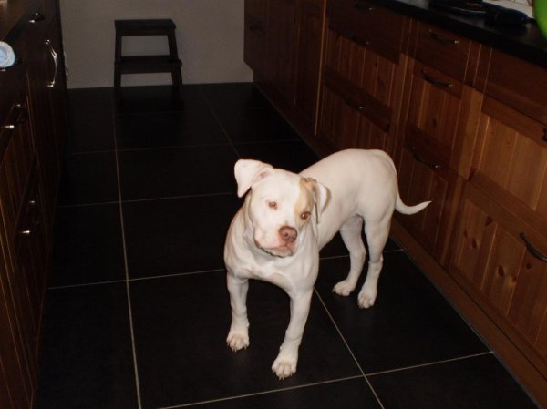 Berzerkbull Jade (Olympe) 6 mois