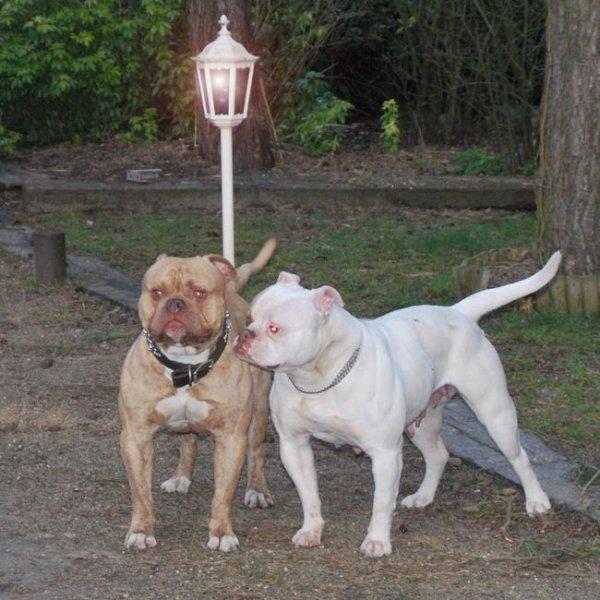 Warriorbulls Pixie 61 and Miura Bulls ' King Zodd ' Breeding!