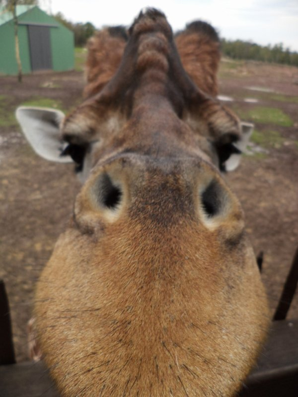 Très gros plan. Girafe du monde sauvage.