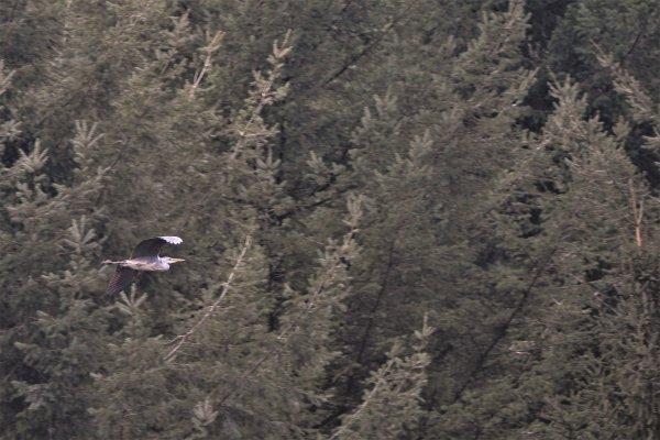 Héron pris en vol.
