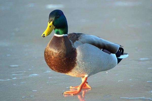 Canard Colvert. (Lac de Warfa Spa)