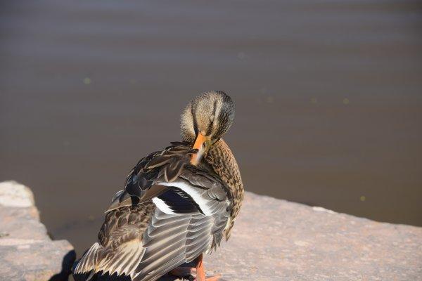 Femelle canard colvert