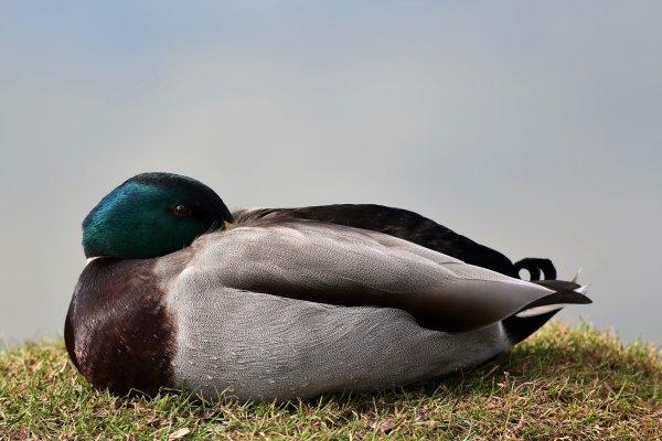 Echange de regard avec un canard colvert. Photo prise cet après midi.