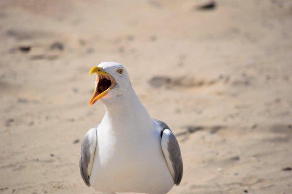 Photo d'oiseaux de nos côtes Belge...
