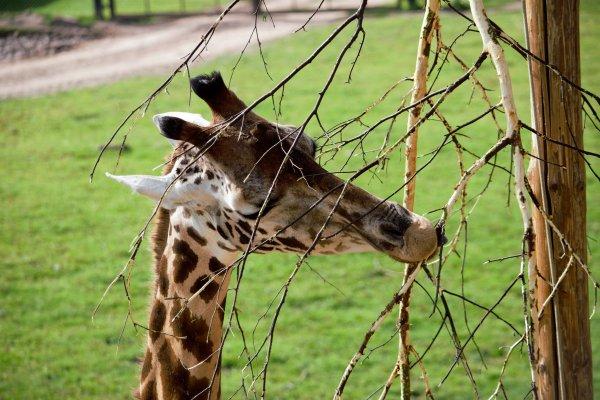 Une girafe qui mange.