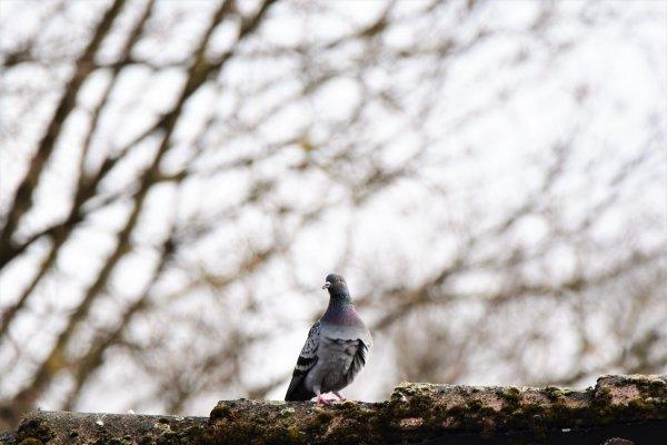 Un pigeon sur les toit...
