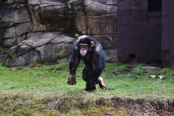 L'ile au chimpanzés du monde sauvage de Aywaille.