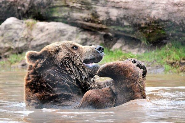 Un ours qui prend son bain au monde sauvage d'Aywaille.