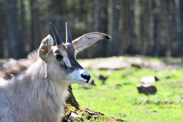 Une antiloppe .