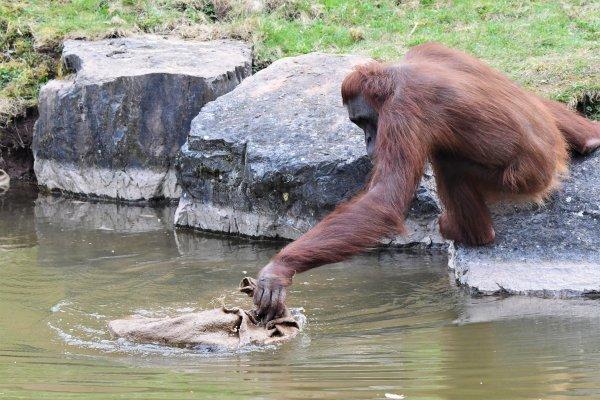 L'histoire d'une pomme et un orang-outang.