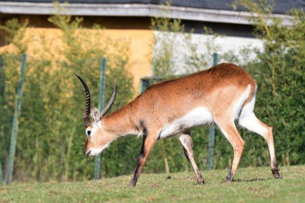 Une antilope .