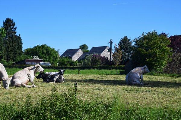 Des vaches en mode tranquille. lol