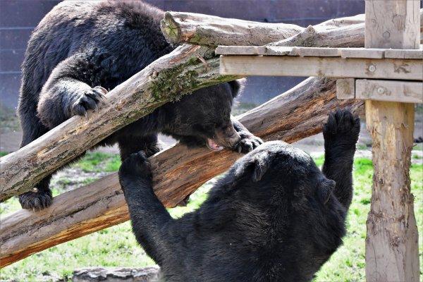 Petite dispute entre ours.