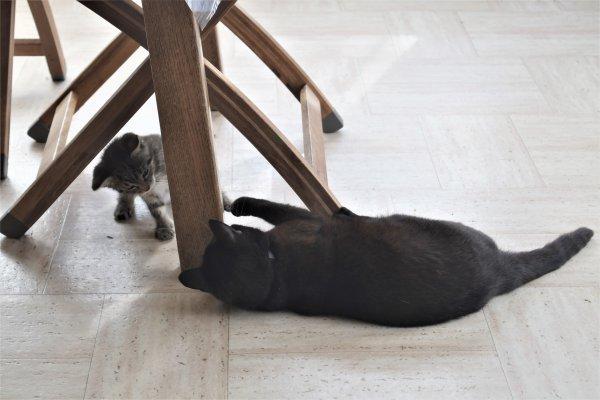 Nos chats jouent ensemble.