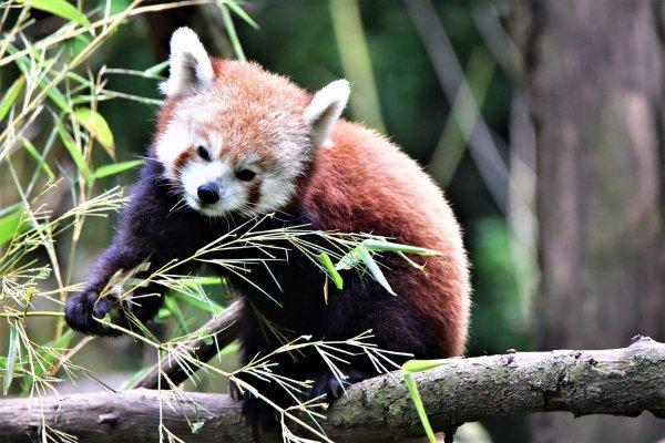 Panda Roux.