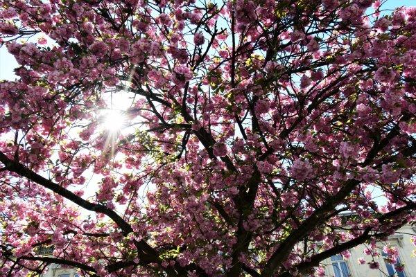 Cerisier du Japonais.