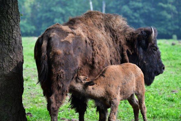 Une bisonne et son petit.