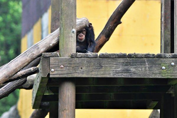Série de photos sur les chimpanzés.