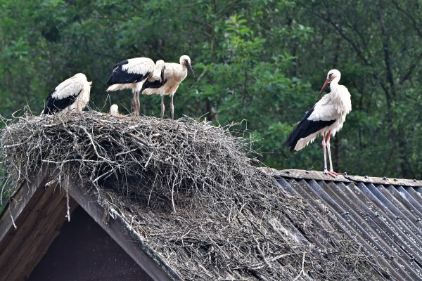 Une famille cigogne.