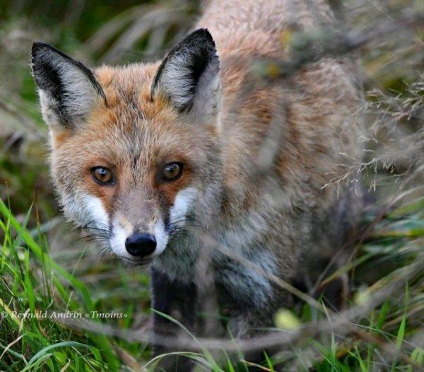 Un renard que j'ai photographié dans la Fagne.