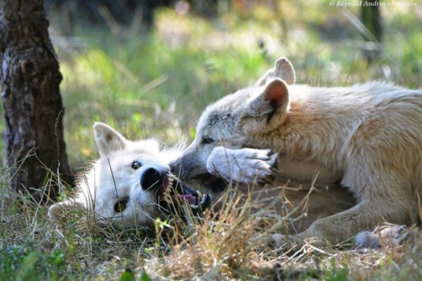 Des loups qui jouent.