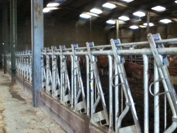 Vaches à viandes