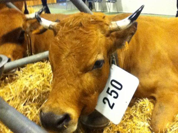 encore des vaches!