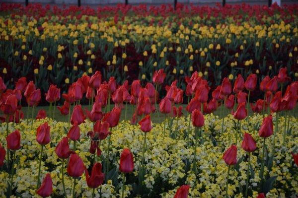 Qui devinera où se trouvent ces tulipes ?