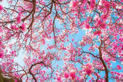 Fleur de cerisiers.