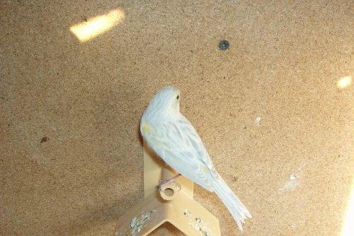 femelle agate opale mosaique jaune