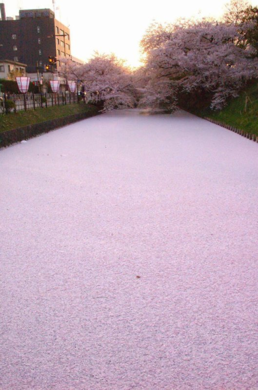 SEA OF CHERRY BLOSSOM PETALS