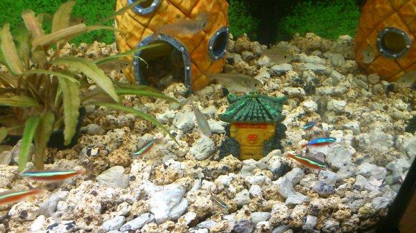 Blog de mes poissons tropicaux blog de mes poissons for Nourriture combattant