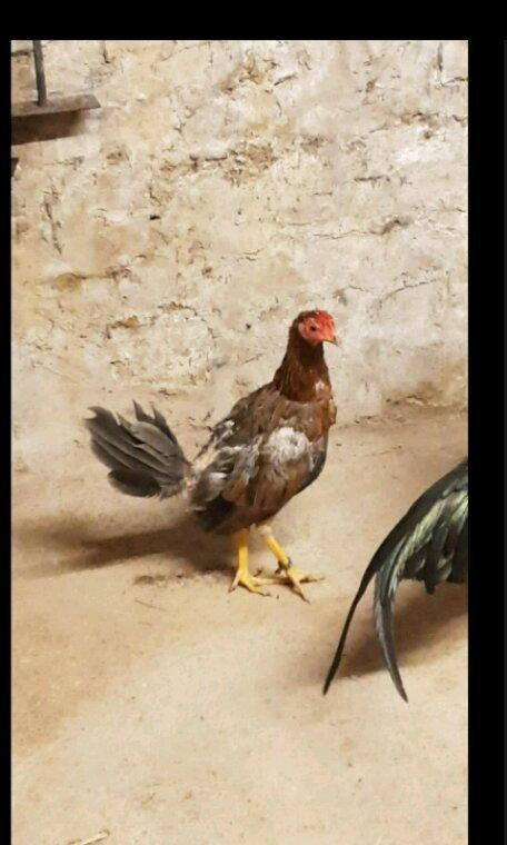 Coq poule