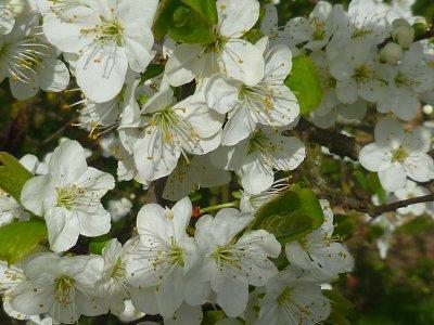 Flowers/ fleurs de Pruniers
