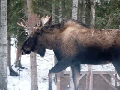 A moose in the yard :p