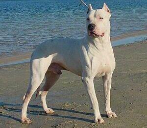 Le Dogue Argentin Molosse44