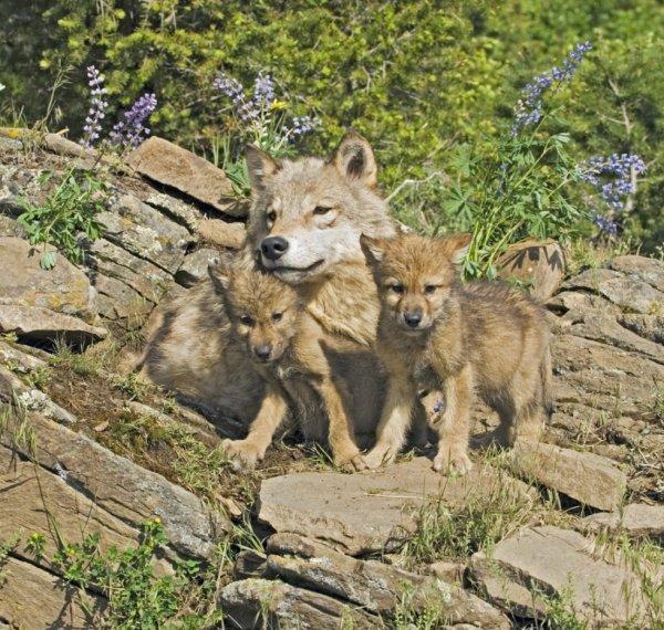 la louve et ses petit