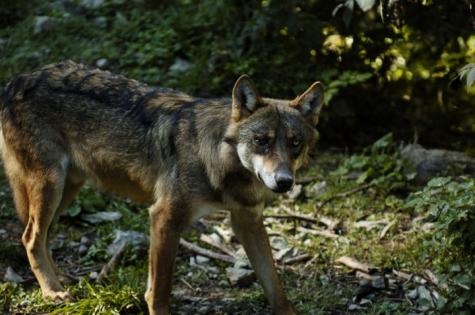 alpha les loups du mercantour