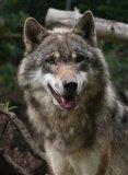 Photo de Passion-du-canis-lupus