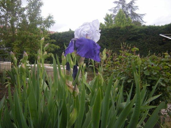 pour Judimacha et les celles qui aiment les iris dommage la pluie les abime