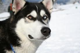 un tres beau yusky siberien ceux qui aime certte race de chien colmmentez la