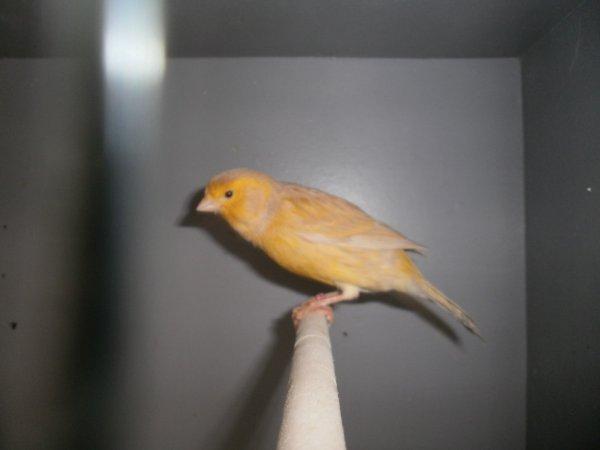 Isabelle jaune