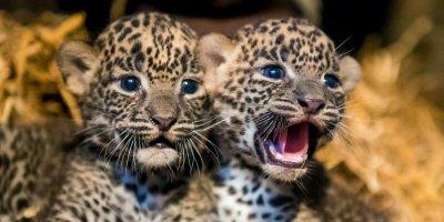 Naissance de 2 panthères d'une espèce très rare au zoo de Maubeuge